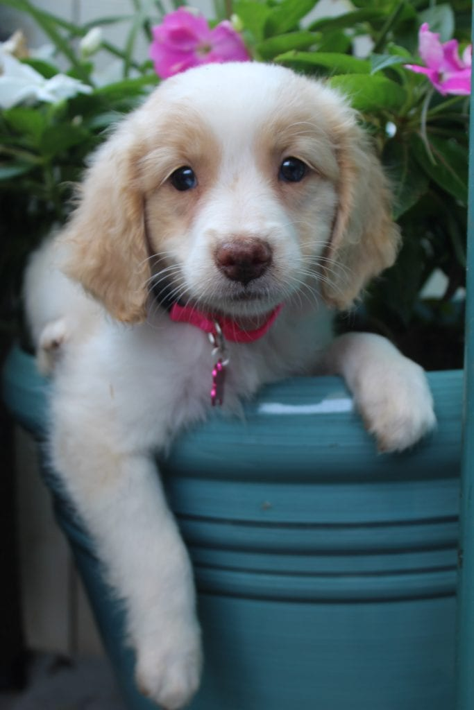 A picture of a Maple, one of Doodle Breeder's 15 pounds F1b Goldendoodles