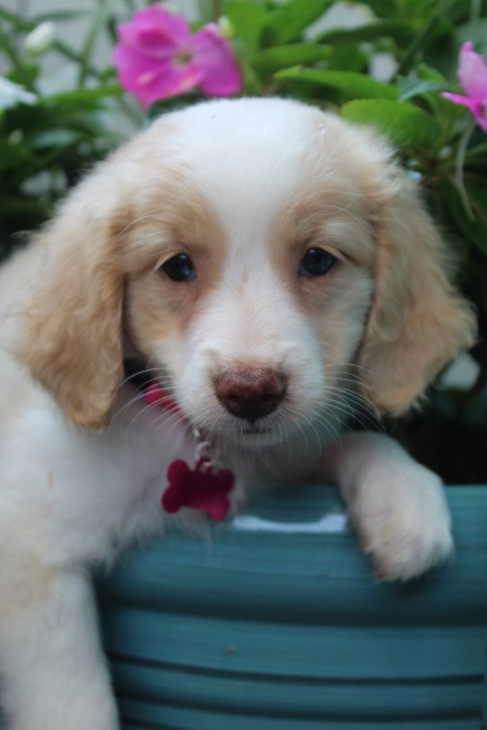 Maple came from Maple and Mr. B's litter of F1B F1b Goldendoodles