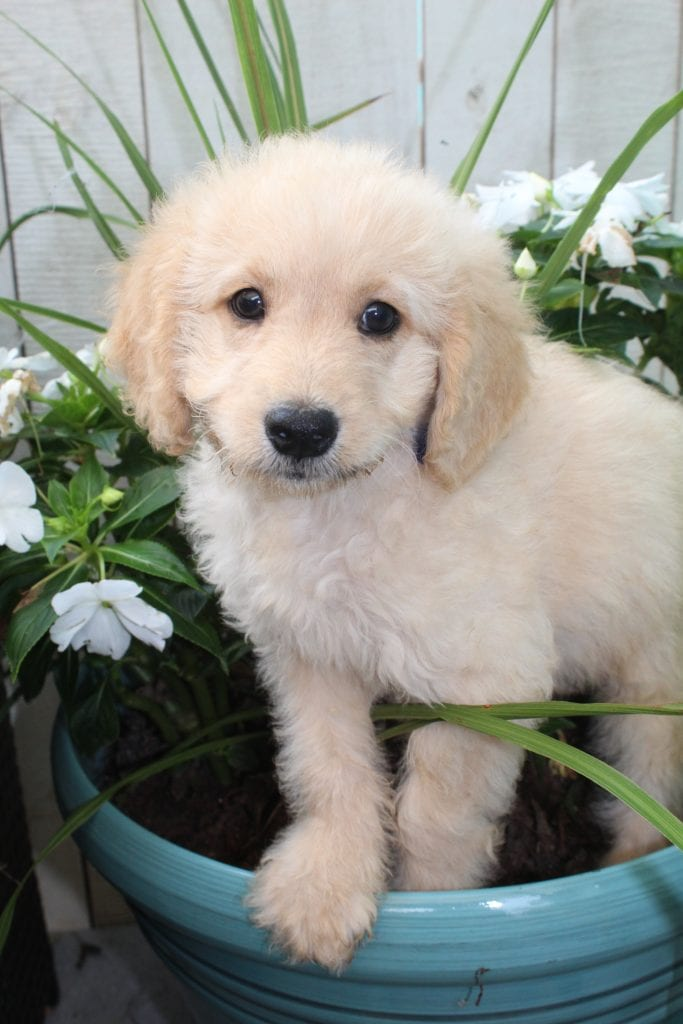 A picture of a Butter, one of Doodle Breeder's 15 pounds F1b Goldendoodles