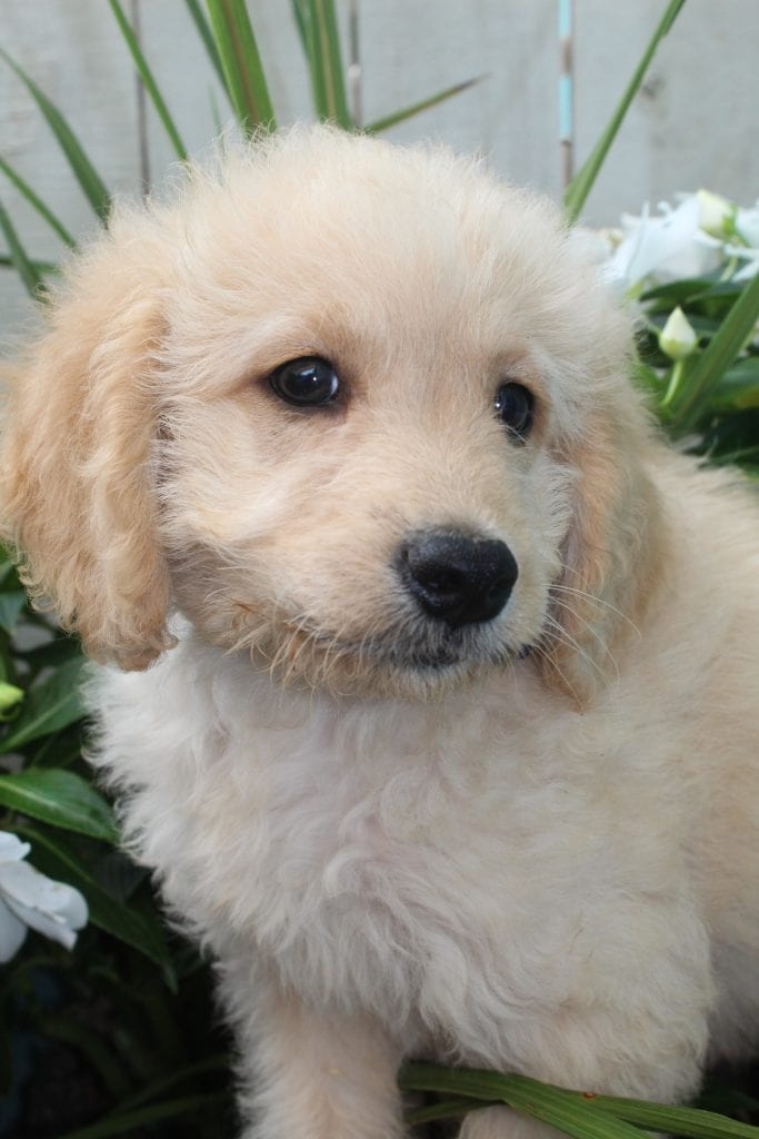 Butter is an F1B F1b Goldendoodle that should have f1b, curly, non shedding, hypoallergenic golden doodles.