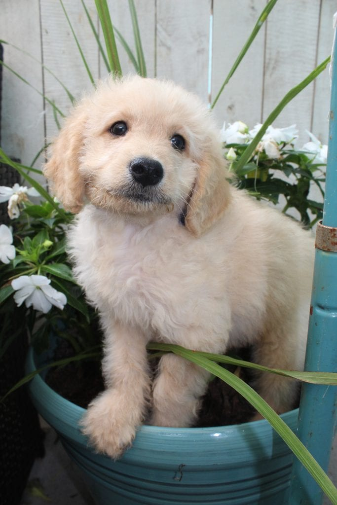 Butter came from Butter and Mr. B's litter of F1B F1b Goldendoodles