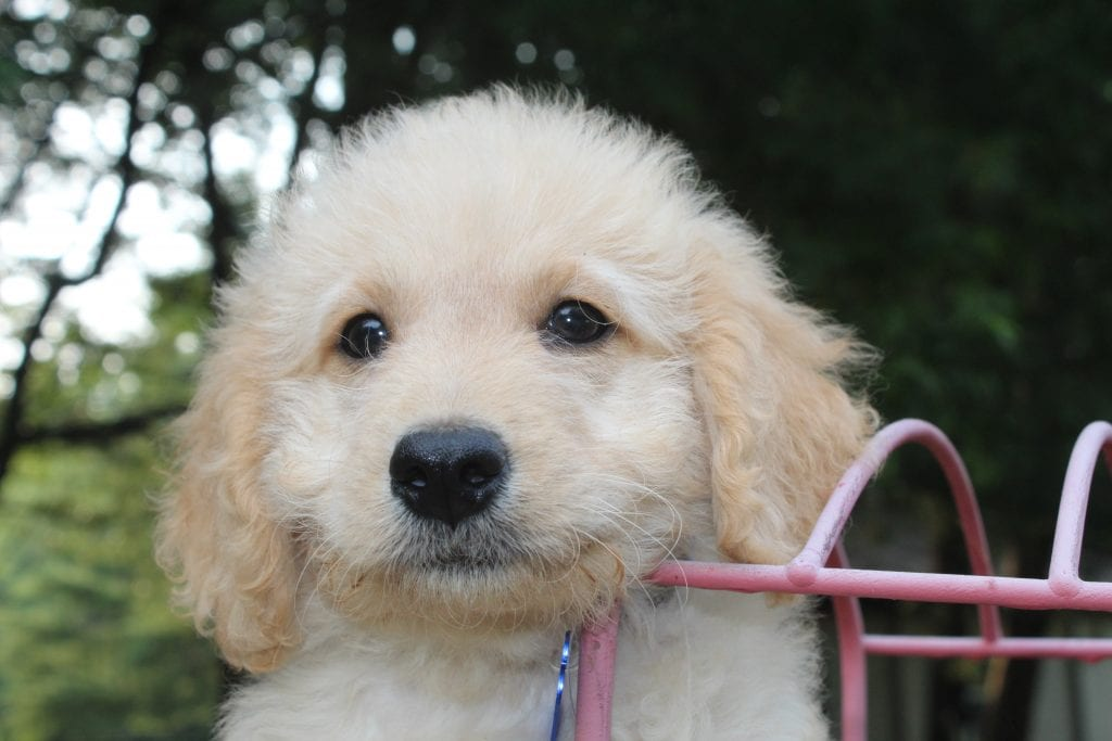 These F1b Goldendoodles were bred by Virginia Poodles and Doodles, their mother is Tink and Mr. B and their father is Mr. B