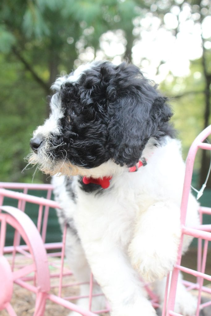 Cookie came from Cookie and Mr. B's litter of F1B F1b Goldendoodles