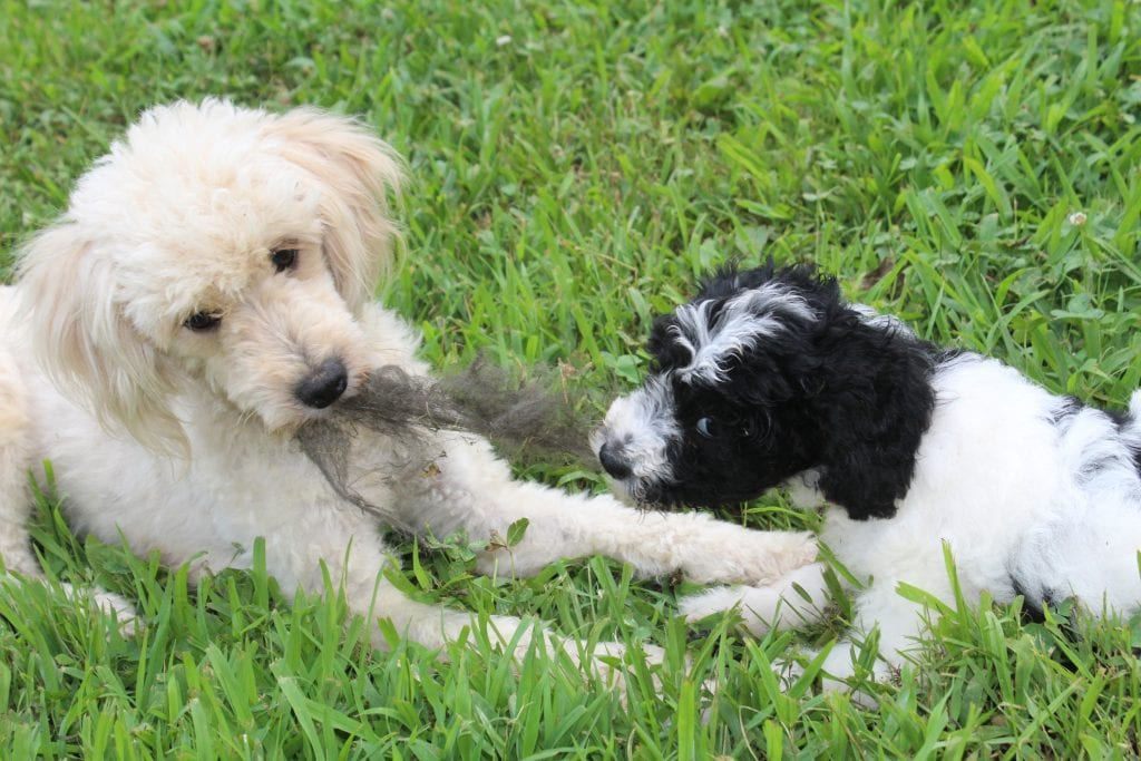 A picture of a Cookie, one of Doodle Breeder's 15 pounds F1b Goldendoodles