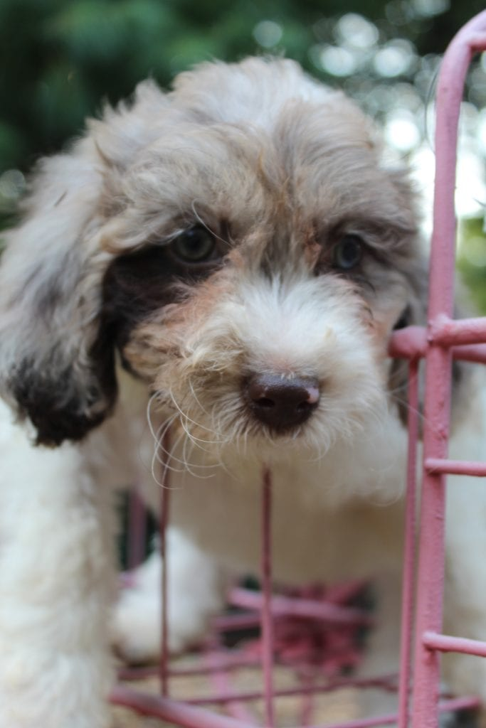 A picture of a Rocky, one of Doodle Breeder's 15 pounds F1b Goldendoodles