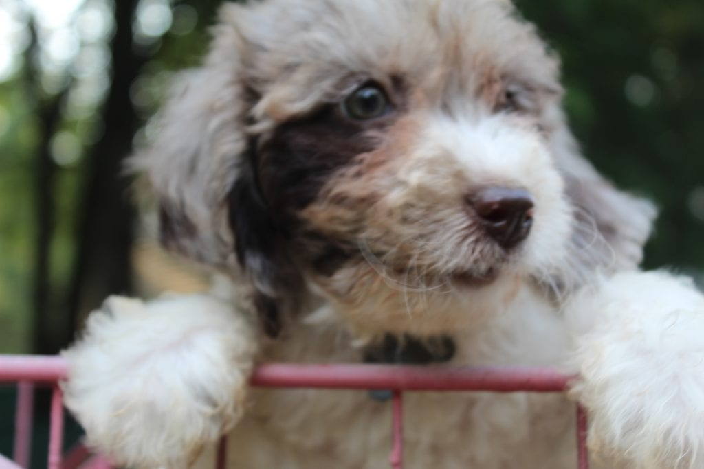 Rocky is an F1B F1b Goldendoodle that should have f1b, curly, non shedding, hypoallergenic golden doodles.