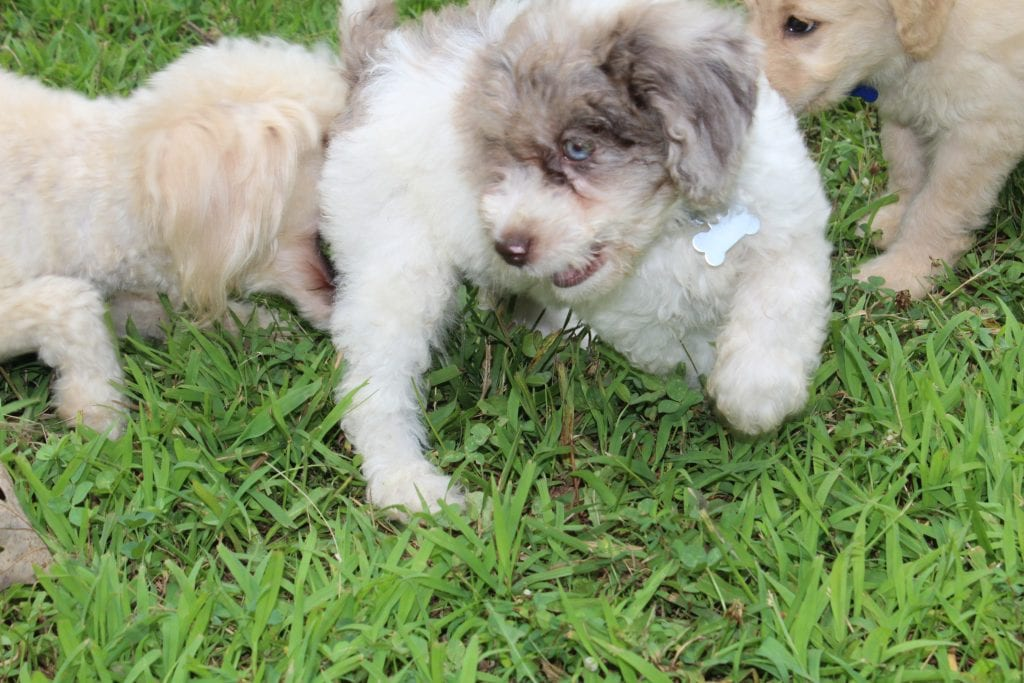 A litter of 15 pounds F1B F1b Goldendoodles available in Virginia