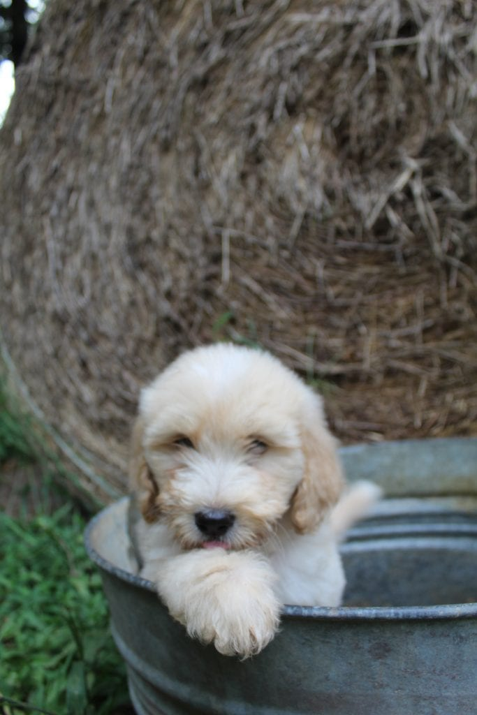 A picture of a Pecan, one of Doodle Breeder's 15 pounds F1b Goldendoodles