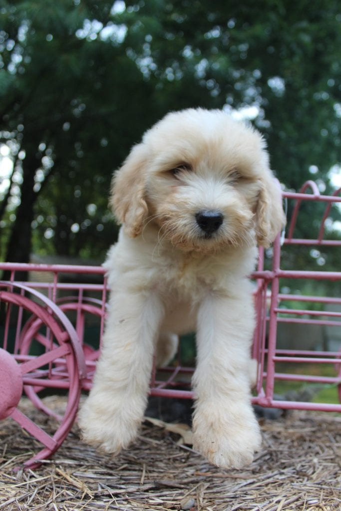 Pecan is an F1B F1b Goldendoodle that should have f1b, curly, non shedding, hypoallergenic golden doodles.