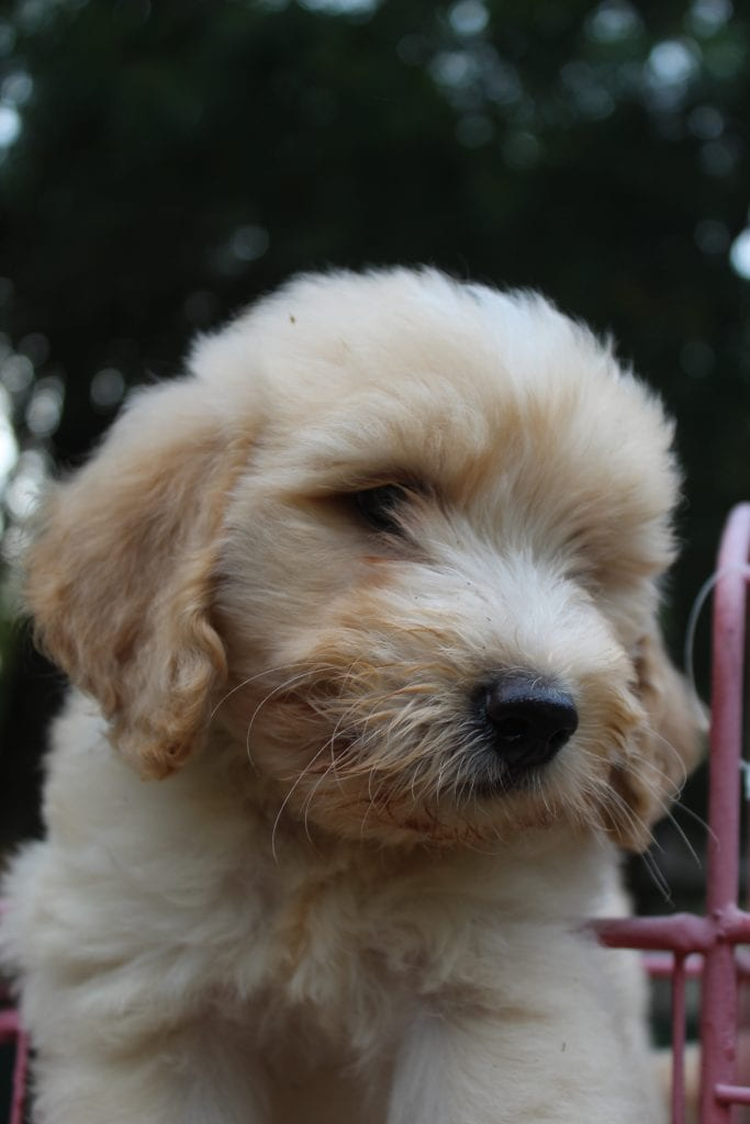 Pecan came from Pecan and Mr. B's litter of F1B F1b Goldendoodles