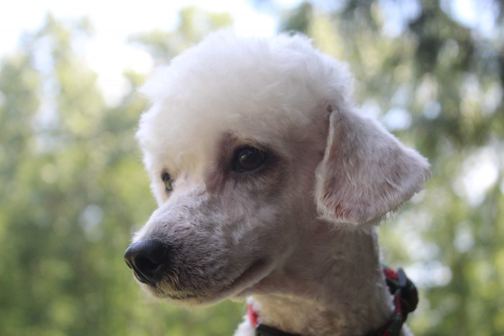 Loki is an  Toy Poodle and a father here at Virginia Poodles and Doodles