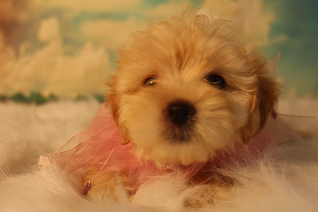 Belle is an F1B Micro Goldendoodles that should have Tiny curly, non-shedding micro doodles
