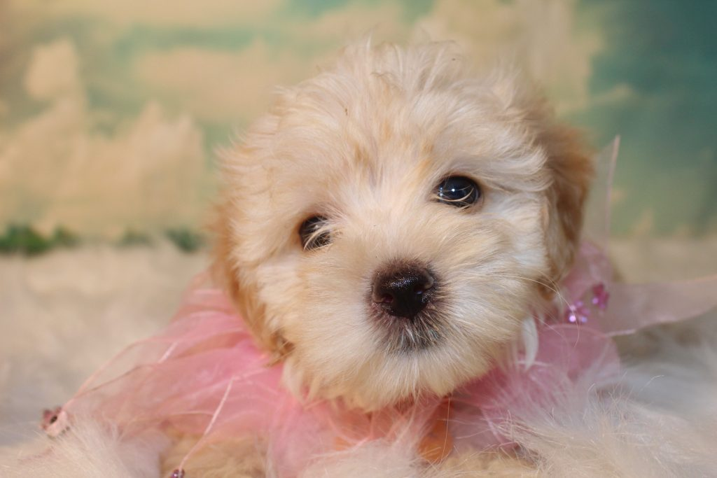 A picture of a Belle, one of Doodle Breeder's 8 pounds Micro Goldendoodless