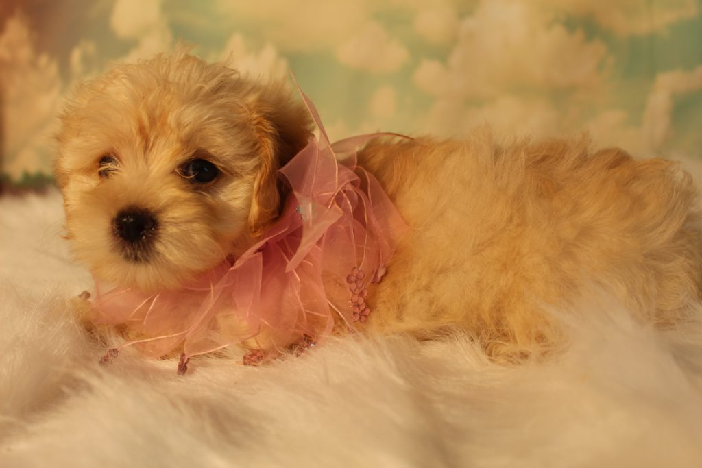 Belle came from Belle and Loki's litter of F1B Micro Goldendoodless