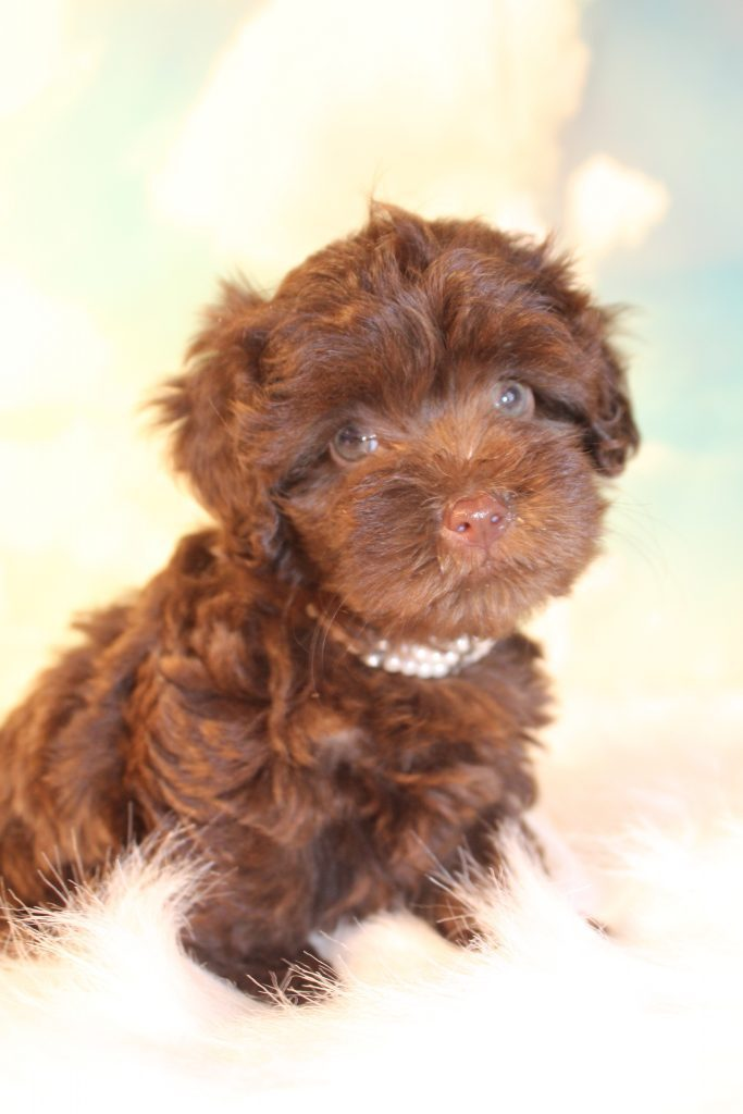 A picture of a Duchess, one of Doodle Breeder's 8 pounds Micro Goldendoodless