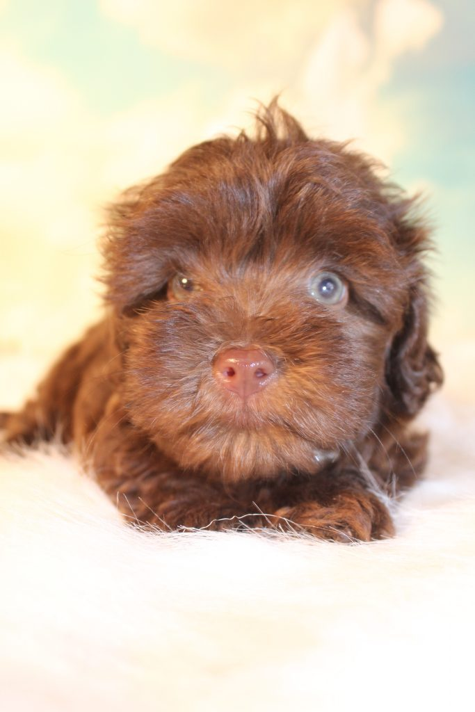 Duchess came from Duchess and Loki's litter of F1B Micro Goldendoodless