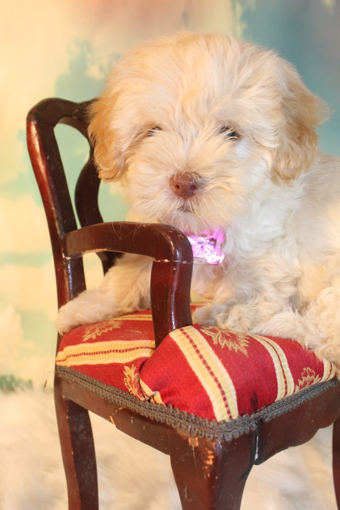 Jasmine is an F1B Micro Goldendoodles that should have Tiny curly, non-shedding micro doodles