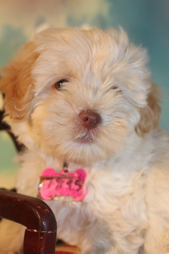 A picture of a Jasmine, one of Doodle Breeder's 8 pounds Micro Goldendoodless