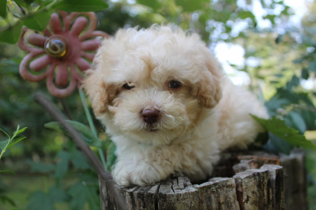 A picture of a Scamp, one of Doodle Breeder's 8 pounds Micro Goldendoodless