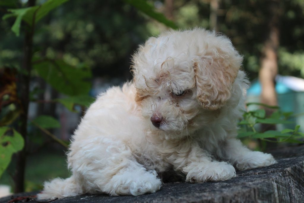 Scamp is an F1B Micro Goldendoodles that should have Tiny curly, non-shedding micro doodles