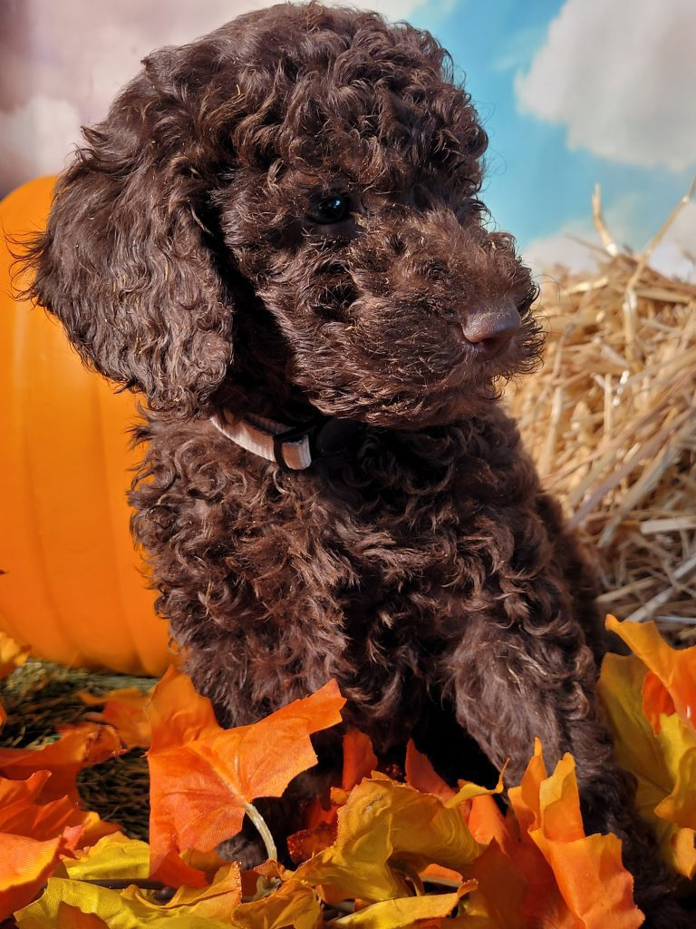 A picture of a Beethoven, one of Doodle Breeder's  Poodles