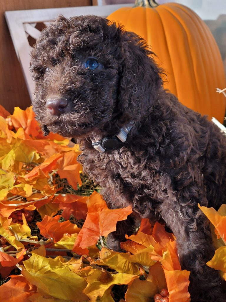 Beethoven is an  Poodle that should have