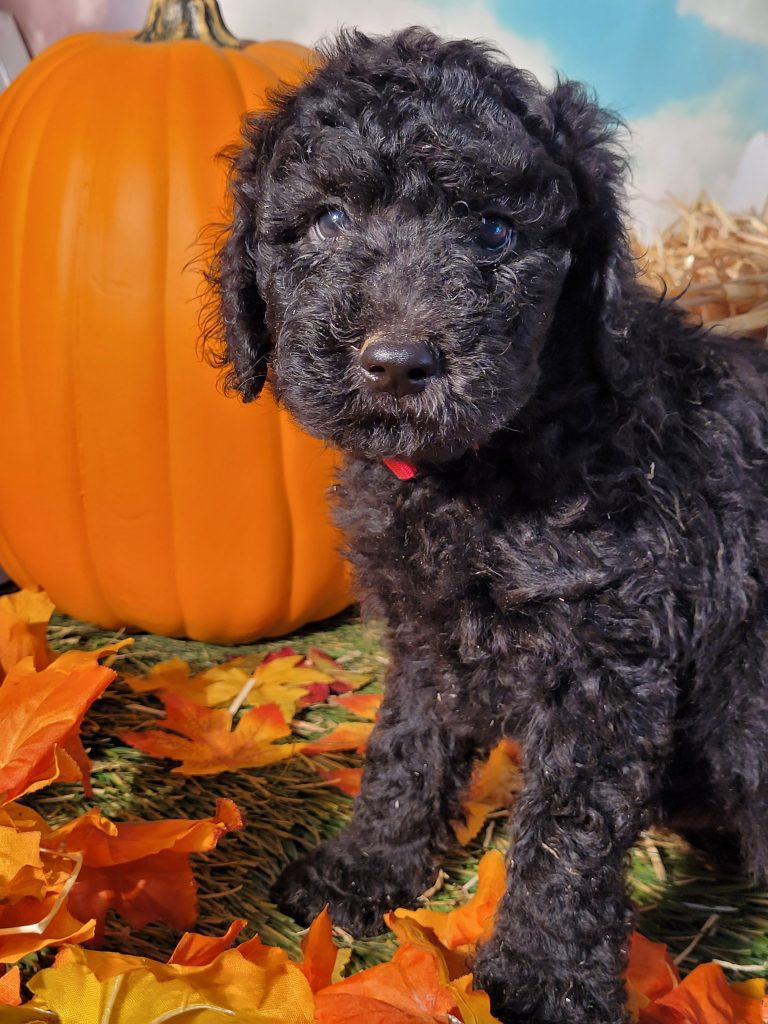 A picture of a Elvis, one of Doodle Breeder's  Poodles