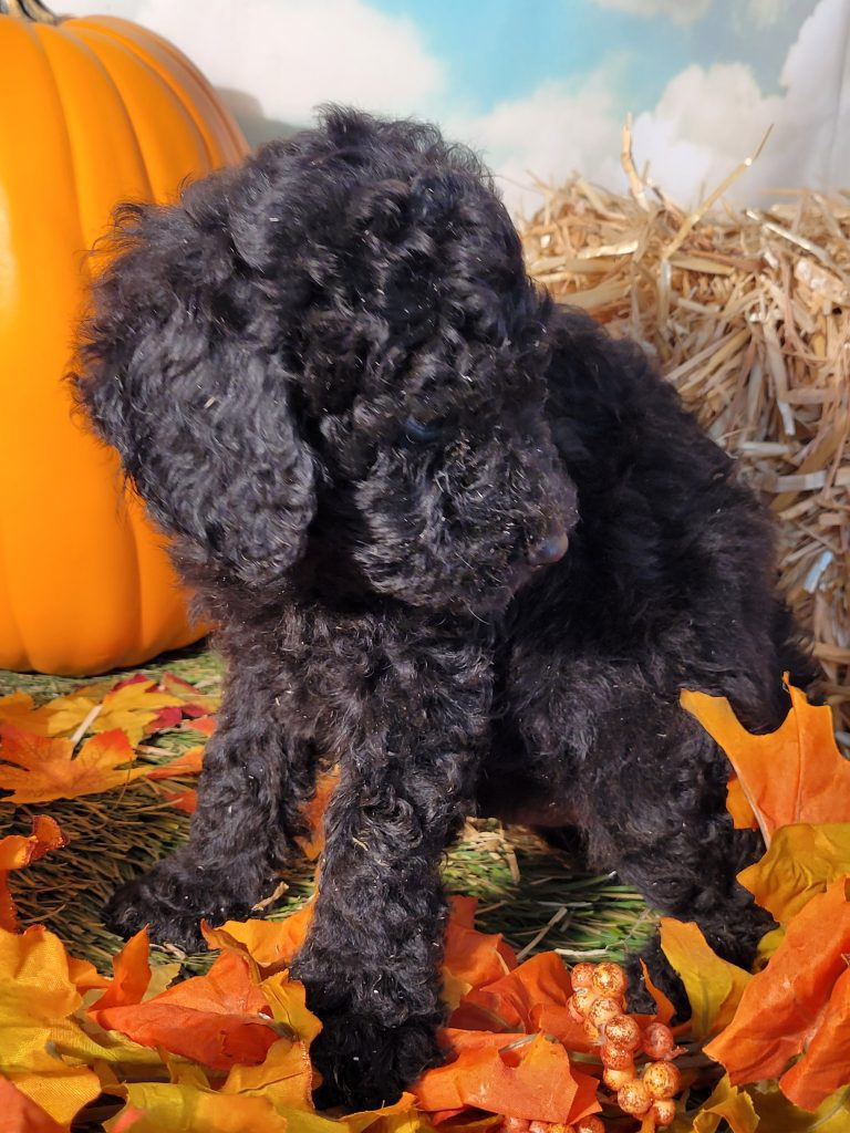 Elvis came from Carmella and Mr. B's litter of  Poodles