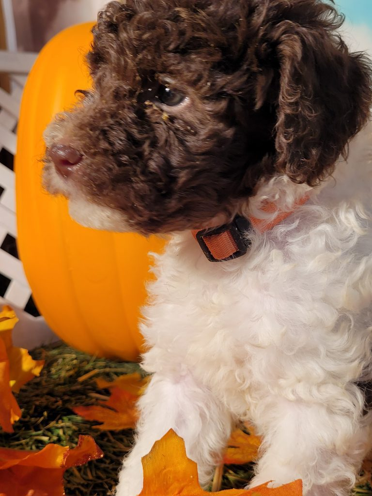 A picture of a Ella, one of Doodle Breeder's  Poodles