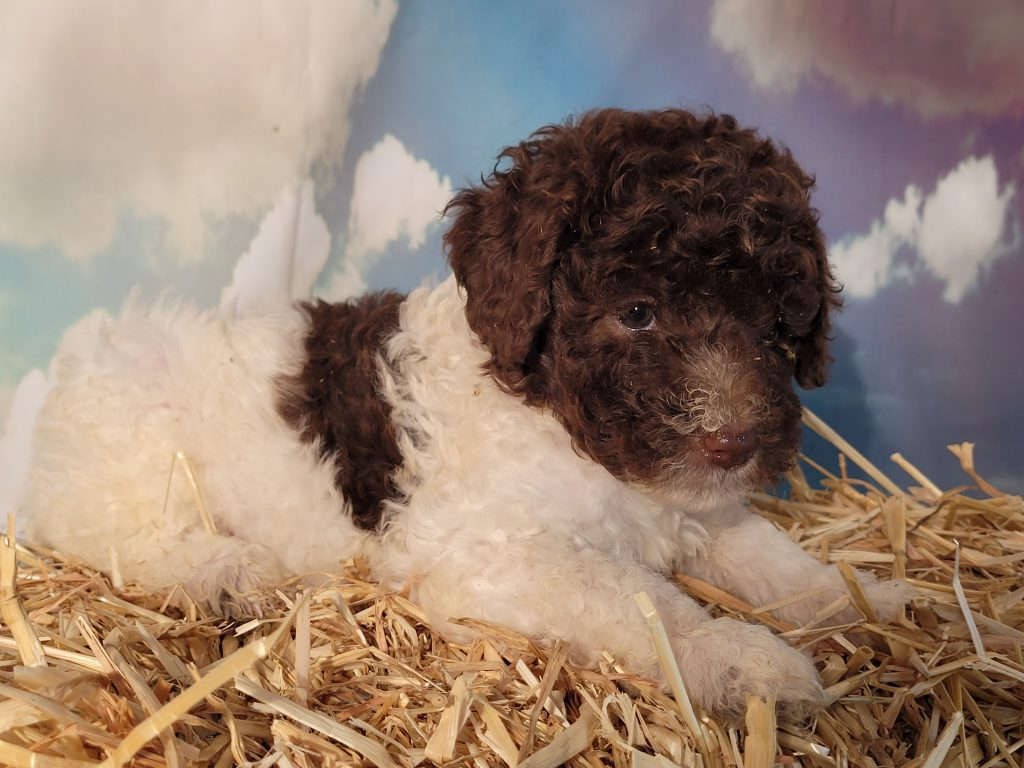 Ella came from Carmella and Mr. B's litter of  Poodles