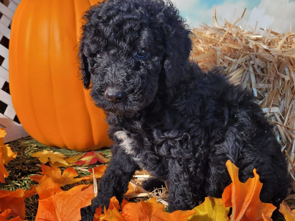 A picture of a Aretha, one of Doodle Breeder's  Poodles